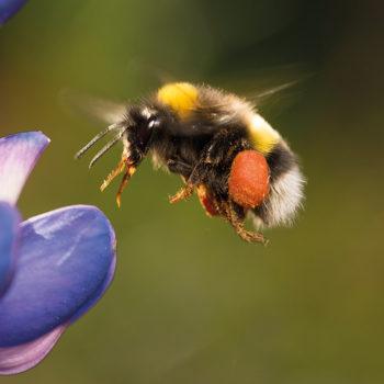 flying towards a purple flower